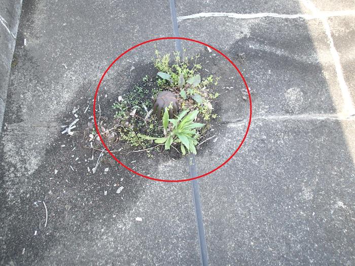 排水ドレンに雑草の繁殖
